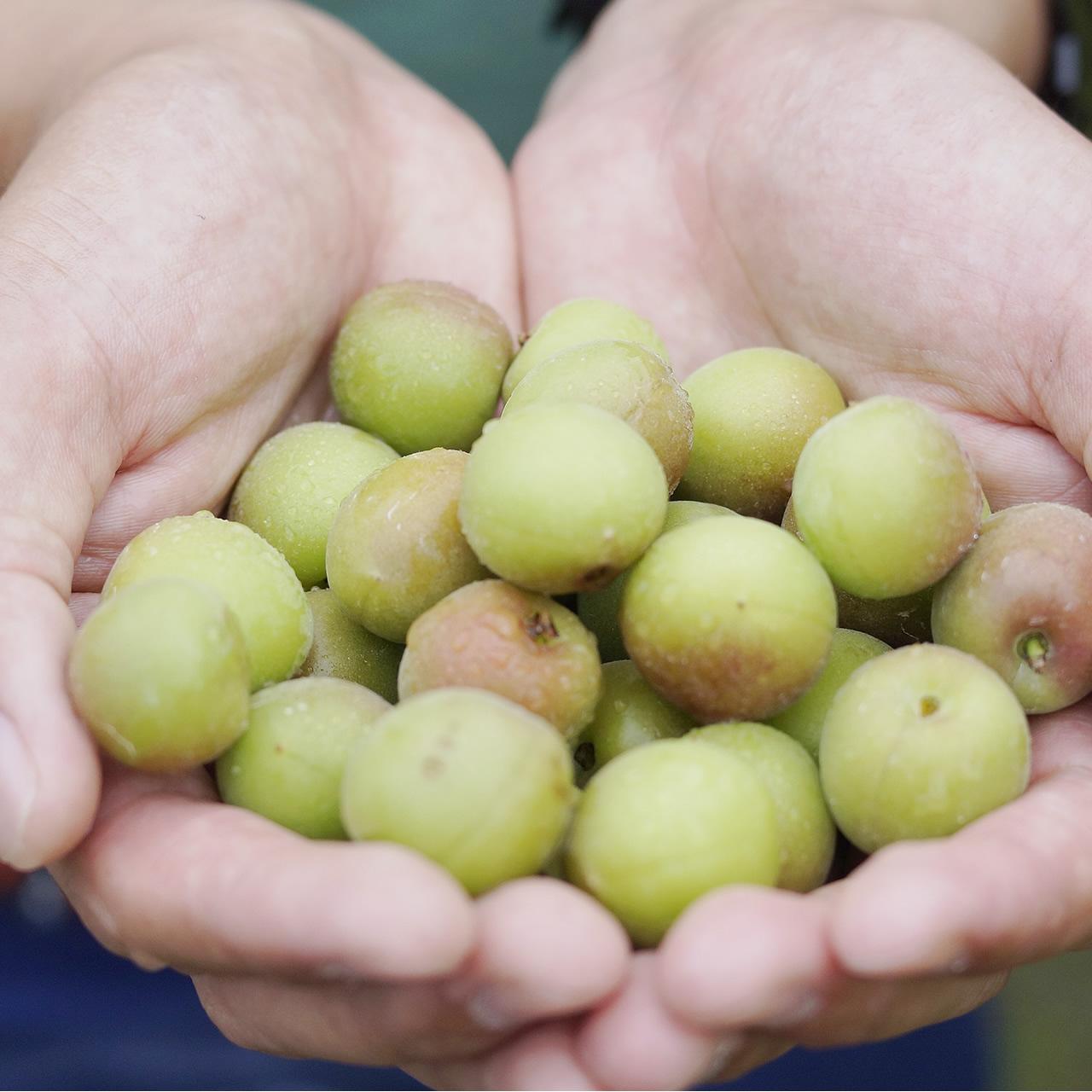 世界遺産 熊野古道の玄関口で育てた無農薬小梅生梅