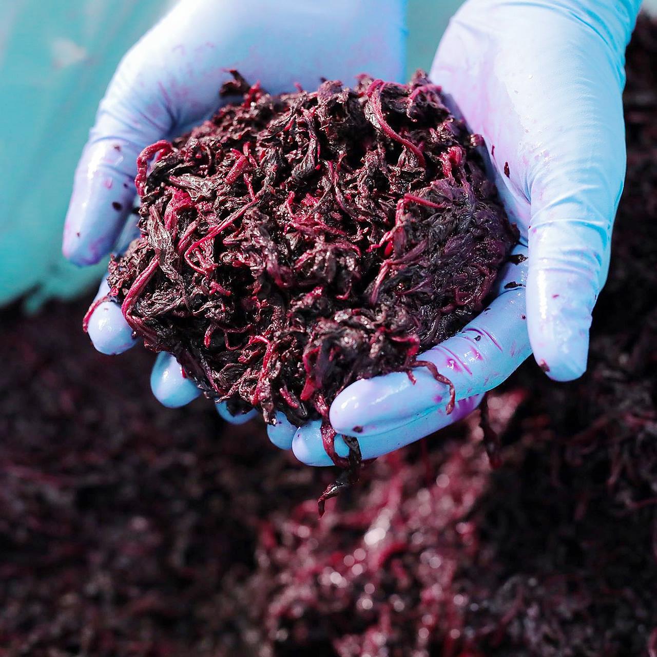 有機栽培,無農薬赤シソ