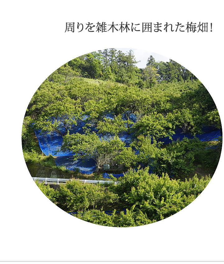 周りを雑木林で囲まれた梅畑